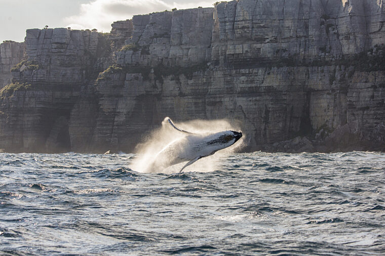 Whale breaching out of Sydney Heads coastline in the background wildlife nonccc dnsw
