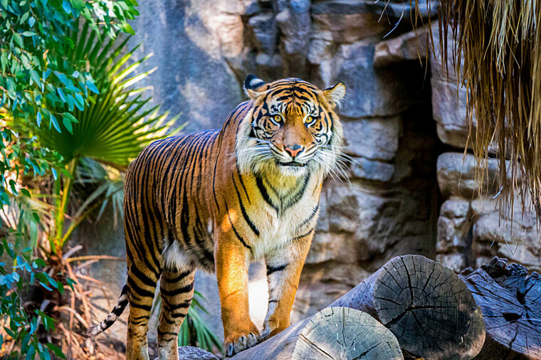 Taronga Zoo Express HOHO attraction tiger wildlife non-ccc unsplash