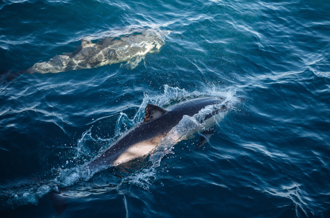 Dolphins swimming towards the heads wildlife non-ccc dnsw
